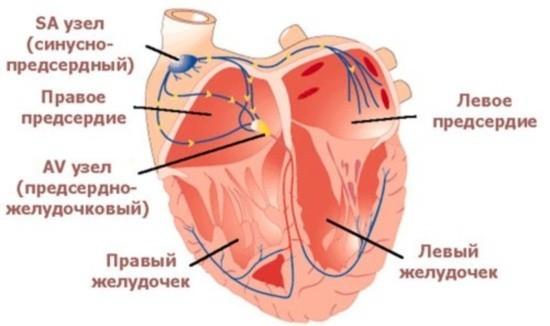 Синусно-предсердный и предсердно-желудочковый узлы