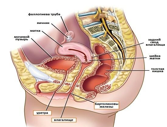 Женские половые органы, мочевой пузырь и уретра