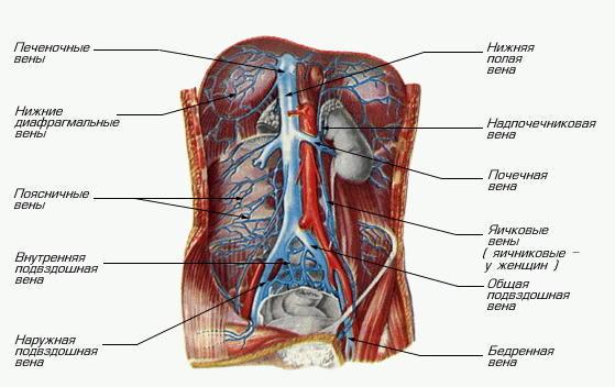 Система нижней полой вены