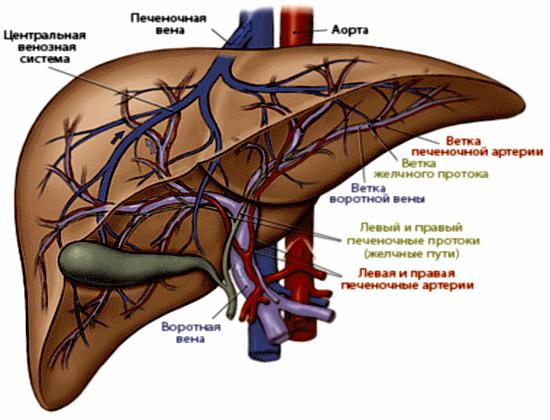 Печеночные артерии и вены
