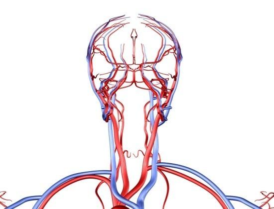 Расположение артерий и вен