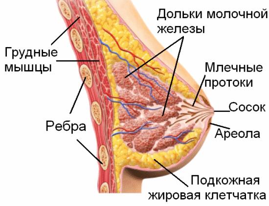 Анатомия грудной железы