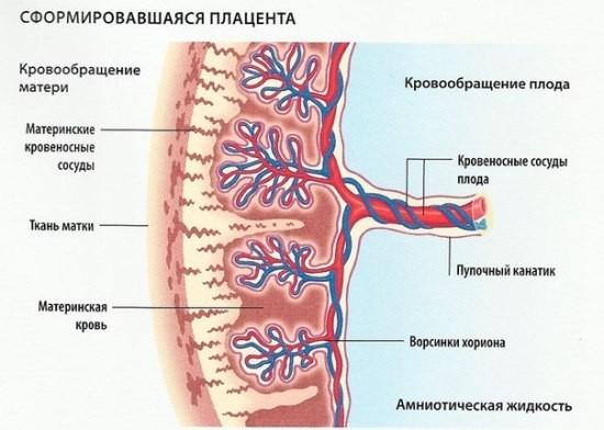 Сформировавшаяся плацента