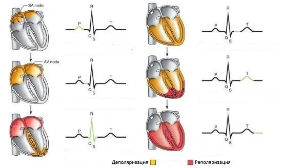 Распространение электрических импульсов по предсердиям и желудочкам