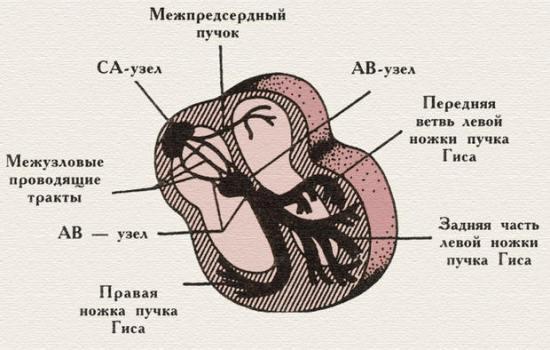 Обеспечение координированной работы разных отделов сердца