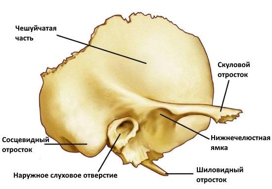 Temporal bones anatomy
