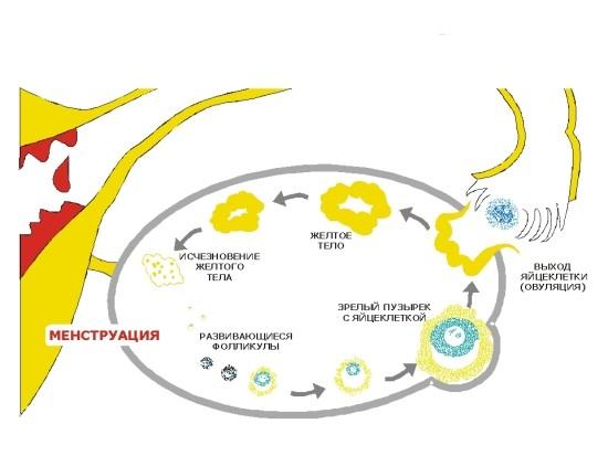 Появление и исчезновение желтого тела