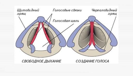 Внутреннее строение гортани
